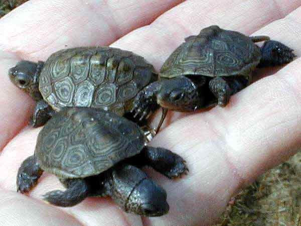 Terrapin Care : Takingcare of them
