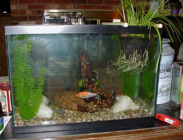 20 gallon fish tank goldfish 20 gal for How many fish in a 20 gallon tank