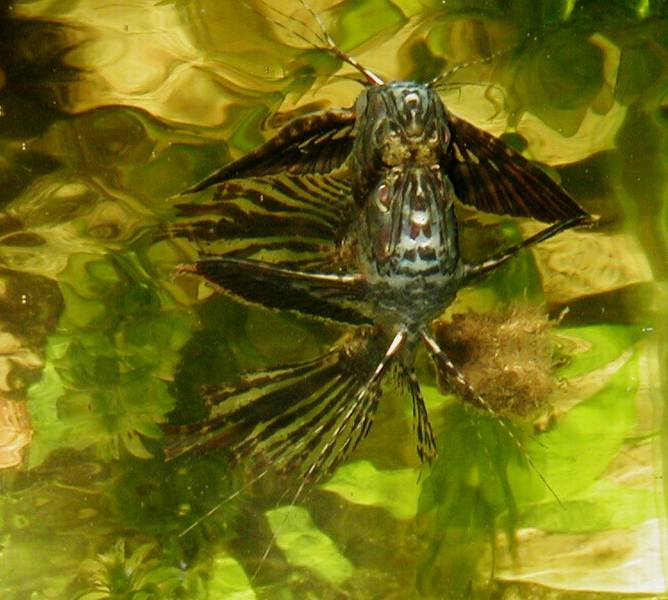Our freshwater aquarium page for Freshwater butterfly fish