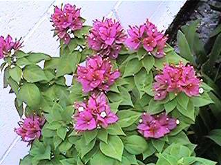 Ooi S Flora Malaysiana Ver 1 0 Bougainvillea 1997 2002