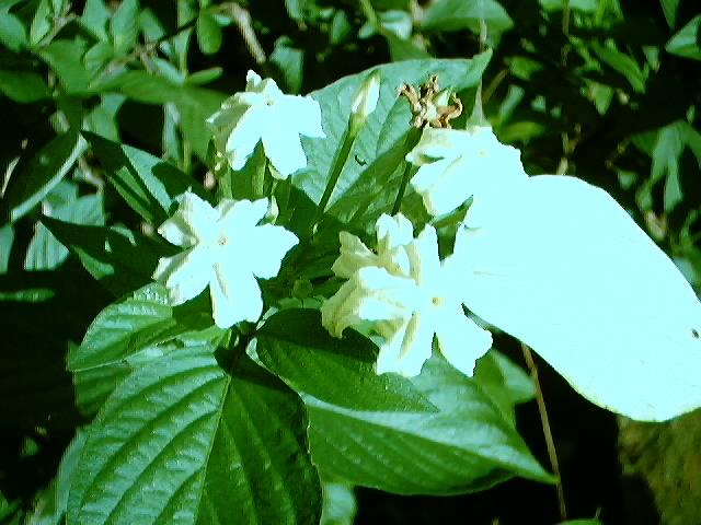 Ooi S Flora Malaysiana Ver 1 0 Yellow Mussaenda Rumufl01a Htm 1997 2003