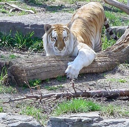 Where Do Golden Tabby Tigers Live