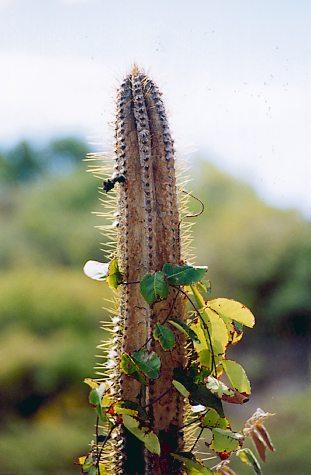 Rama De Cactus En El Bosque Seco De Guanica - Cactus-seco