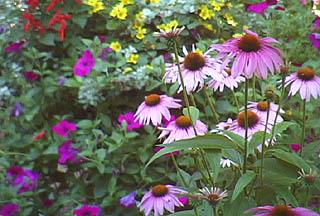 purpleconeflowers pic