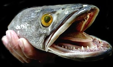 Snakehead Fish 5 Things To Know About The Fish From Hell