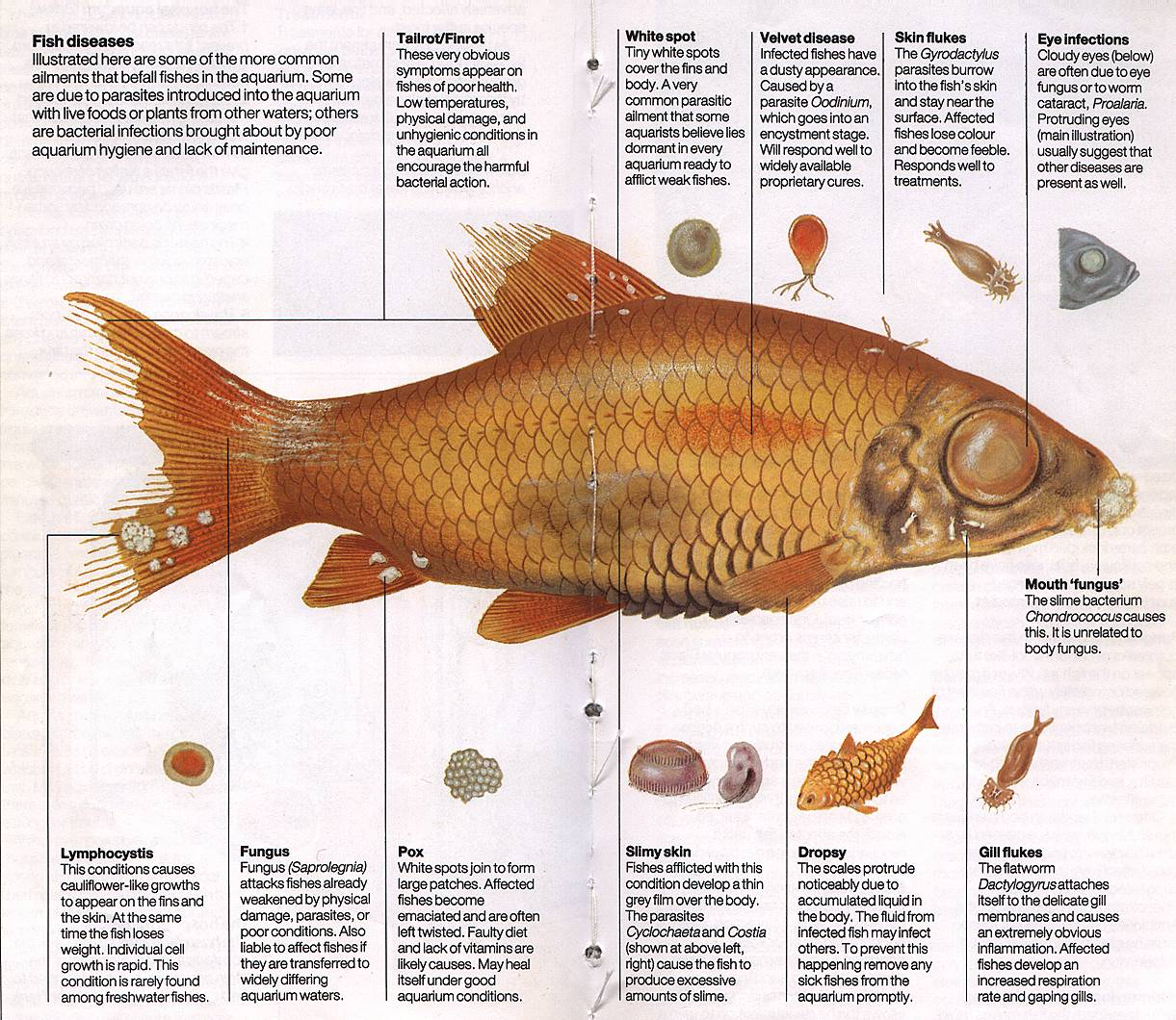 Click here to view a illustraedpicture to help you do some for Tropical fish diseases pictures