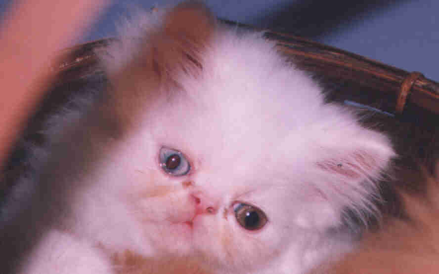 PURRFECTA CATTERY PERSIAN AND HIMALAYAN KITTENS