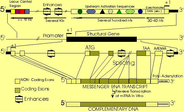 Eukaryotic Transcription Start Site Transcription Start Site