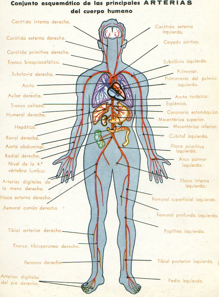 Lujo Cuerpo Humano Diagrama Arteria Inspiración - Anatomía de Las ...
